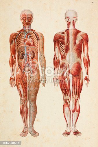 Steel engraving human body with muscles and internal organs  illustration Original edition from my own archives Source : Platen Heilmethode 1894