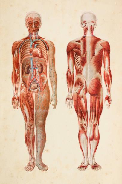 ludzkie ciało z mięśniami i narządami wewnętrznymi - ludzkie części ciała stock illustrations