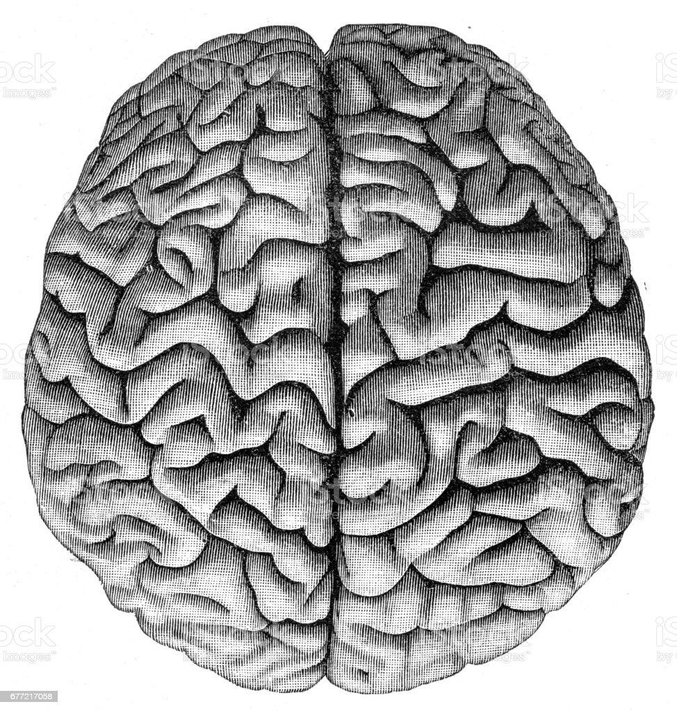 Ilustración de Anatomía Del Cerebro Humano Grabado De 1857 y más ...