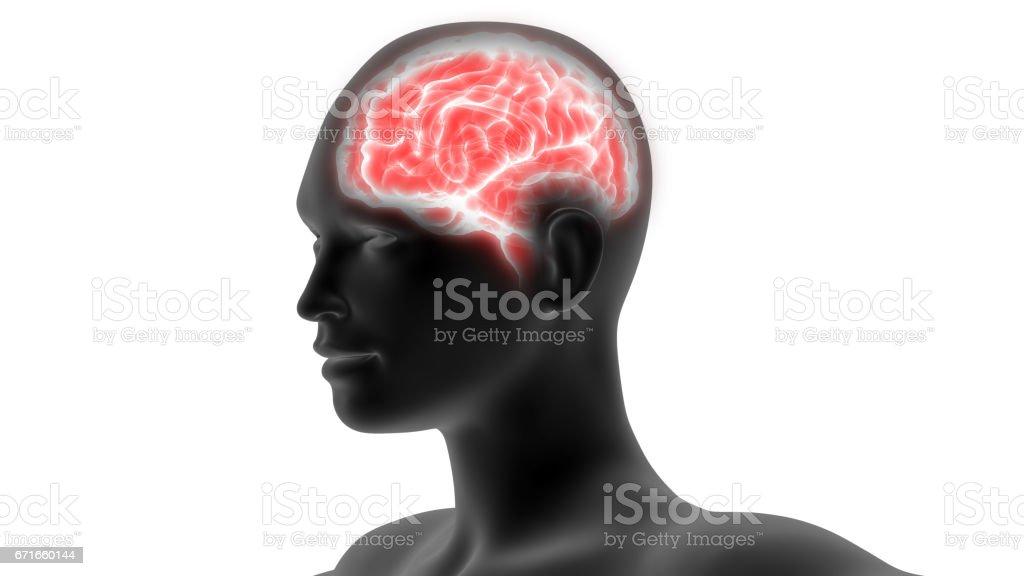 Human Brain Anatomy vector art illustration