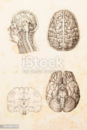 Human brain cross section illustration Original edition from my own archives Source : Brockhaus Conversationslexikon 1884