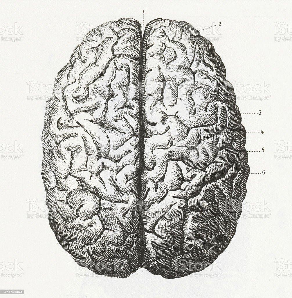 Human Brain Engraving royalty-free stock vector art