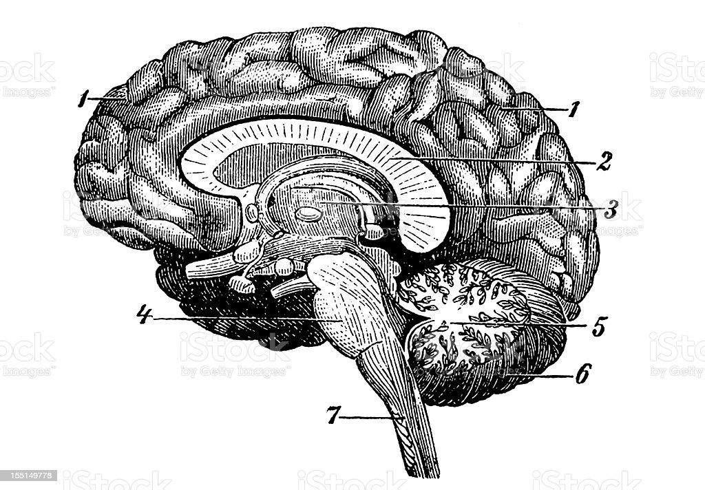 Human Brain royalty-free stock vector art