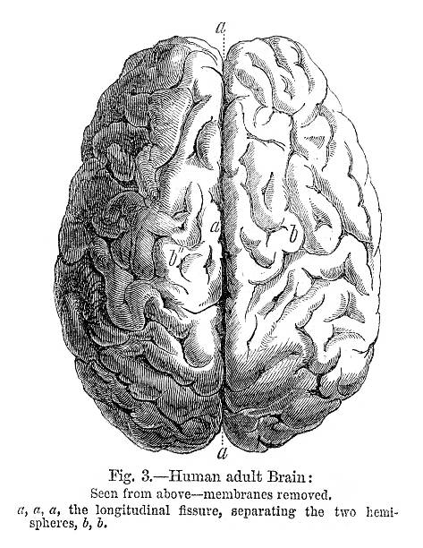Human Brain Vintage engraving from 1864 a human brain dorsal surface stock illustrations