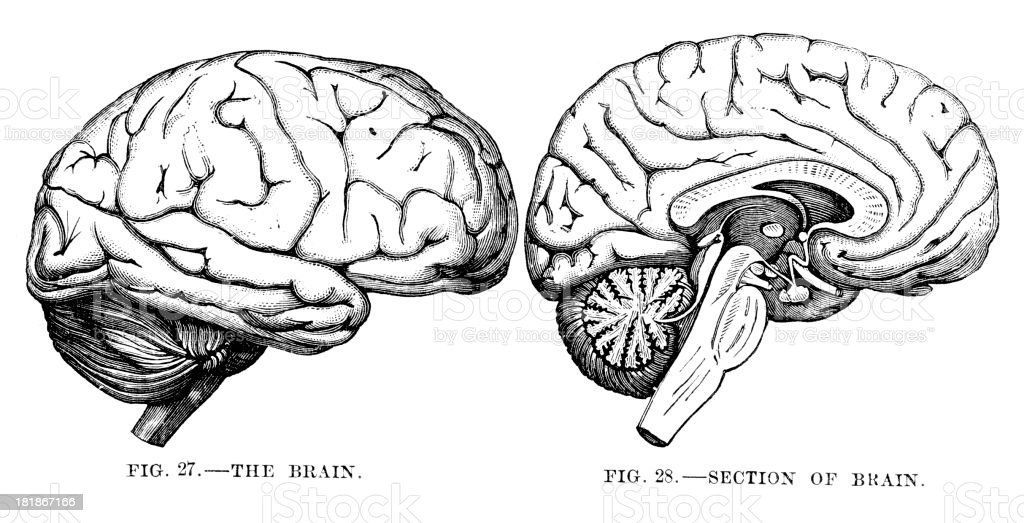 Human Brain royalty-free human brain stock vector art & more images of 19th century