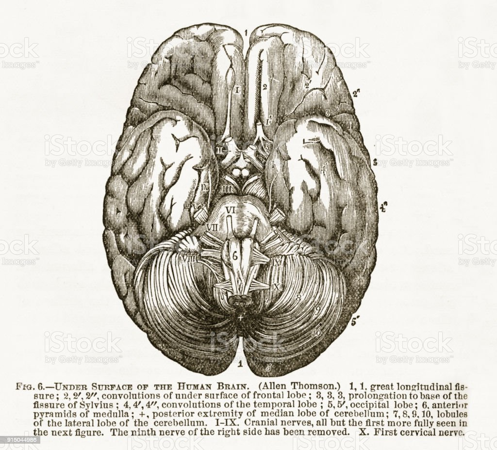 Human Brain Showing The Under Surface Engraved Illustration Circa ...