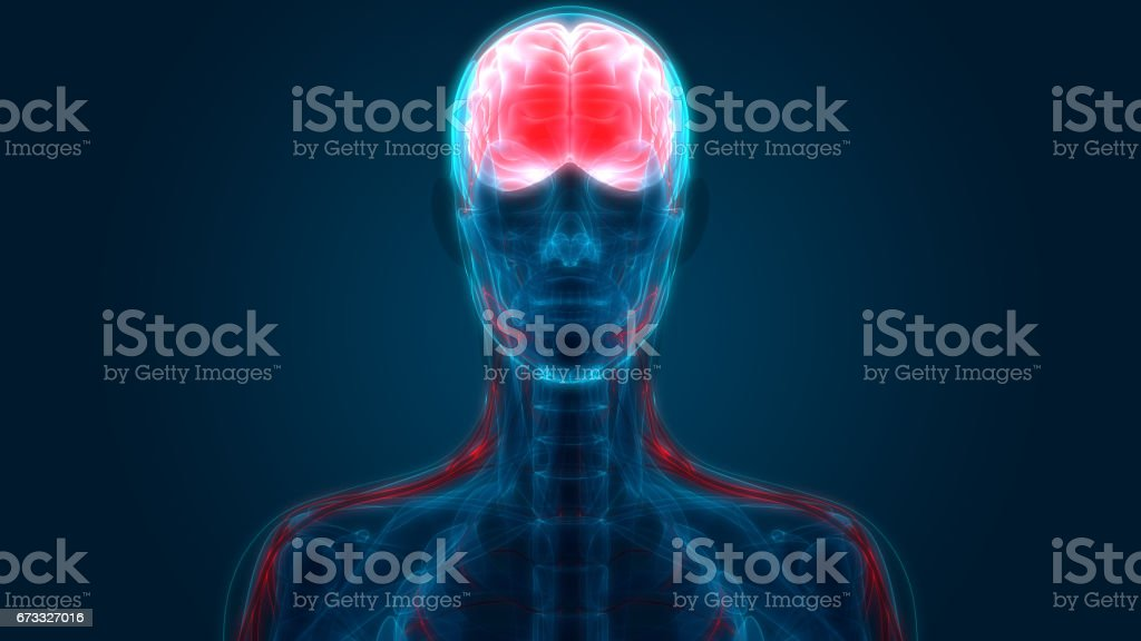 Human Brain with Nervous system Anatomy vector art illustration