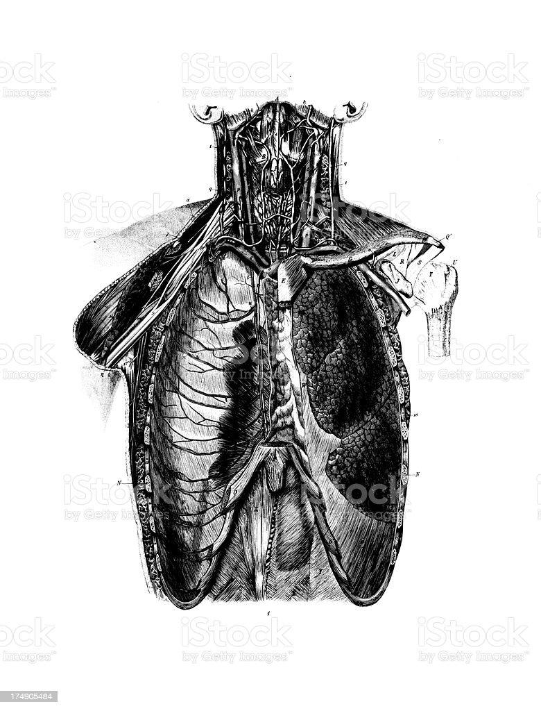 Ilustración de Anatomía Humana De Pechoantigüedades Científica ...