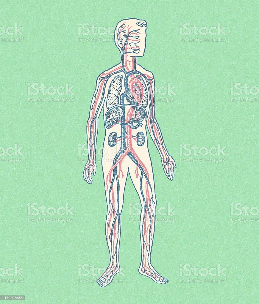 Sanguíneo del circulatorio flujo en orden sistema