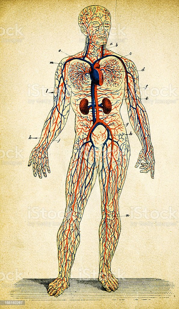 Human Circulatory System vector art illustration