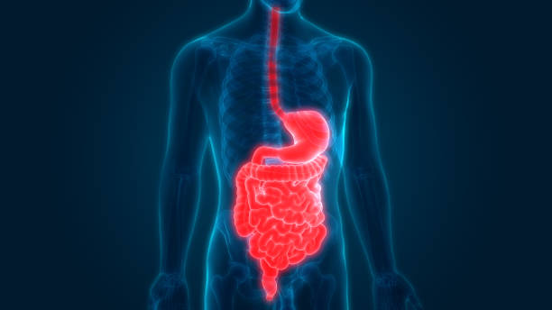 Human Digestive System Anatomy 3D Illustration of Human Digestive System Anatomy digestive system stock illustrations