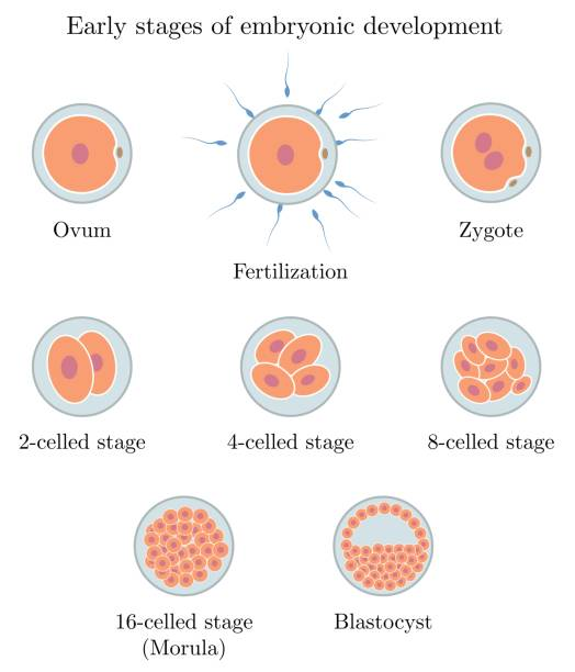 Human embryonic development showing stages from egg and fertilization to implantation of the embryo. Human embryonic development showing stages from egg and fertilization to implantation of the embryo. High quality illustration for science and medical students. Simple reproductive biology. human blastocyst stock illustrations