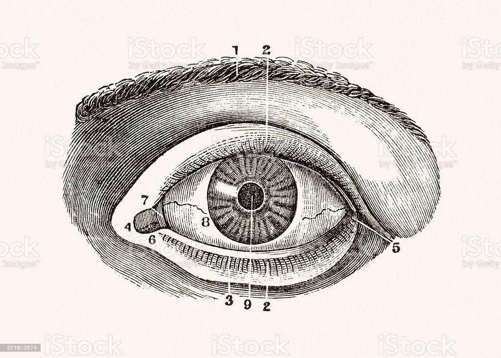 Human Eye 19 century medical illustration vector art illustration