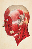 Human face with muscles illustration