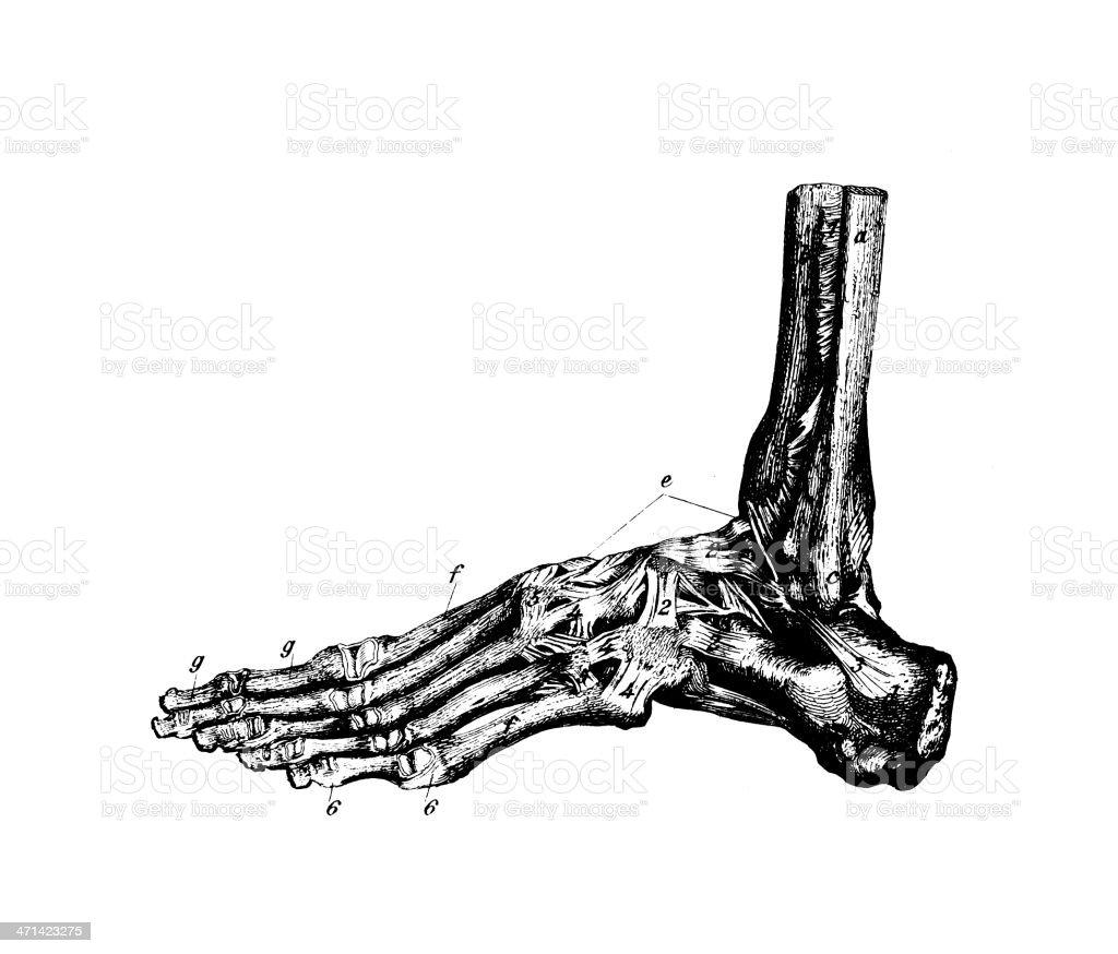 Ilustración de Pie Humano Huesosantigüedades Científica Médica ...
