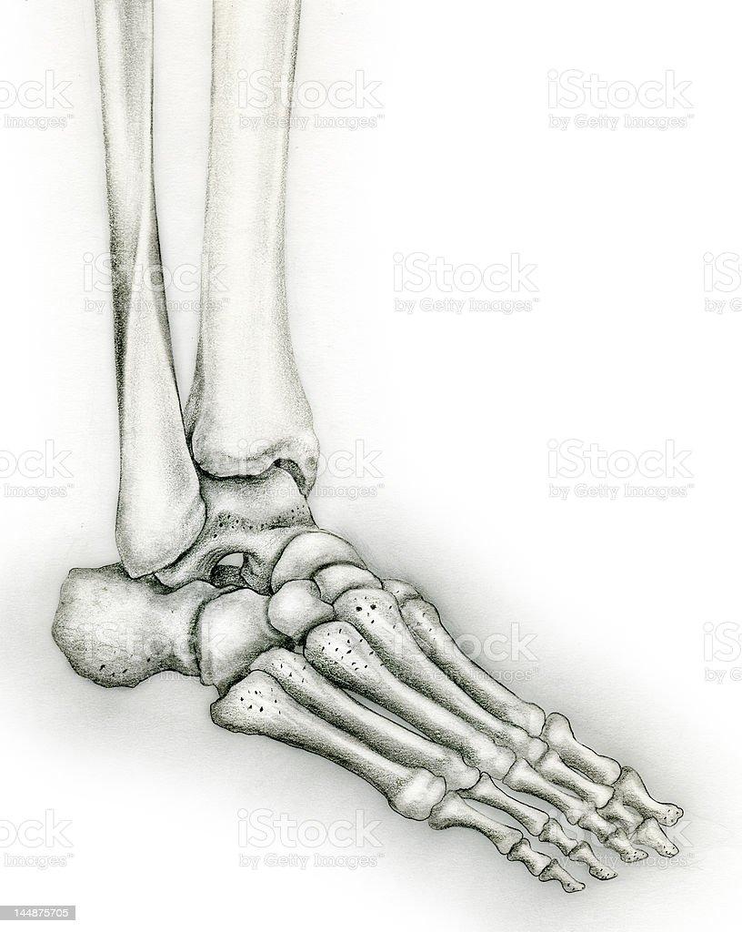 Human Foot Skeleton Stock Illustration Download Image Now Istock