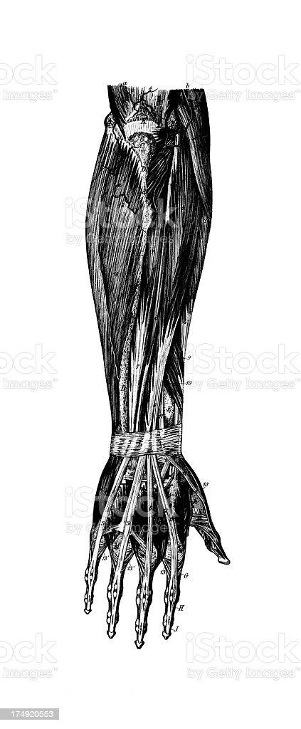 Ilustración de Antebrazo Derechos Humanos Músculosantigüedades ...