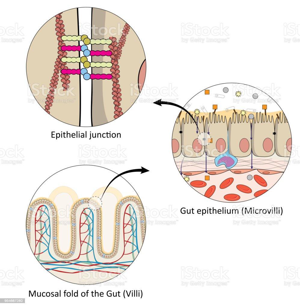Ilustración de Anatomía Del Intestino Humano y más banco de imágenes ...