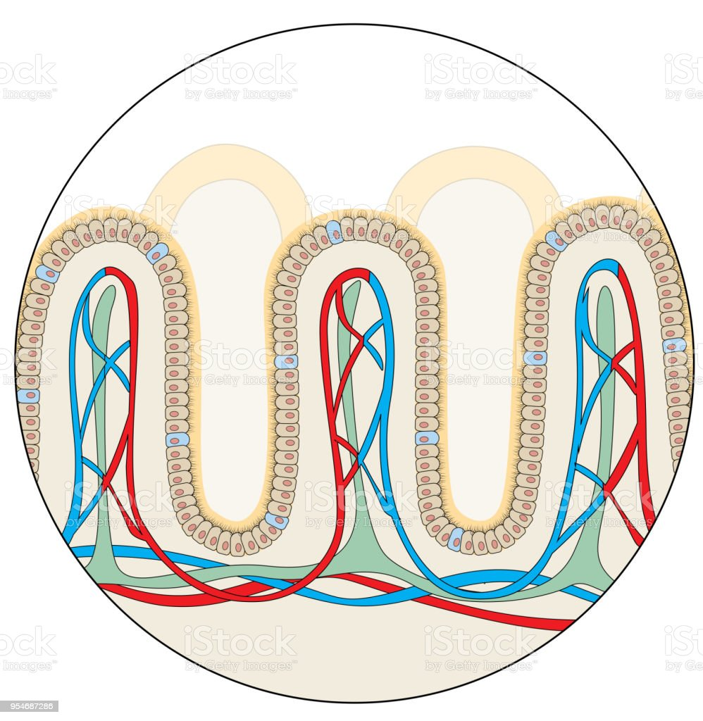 Human gut anatomy vector art illustration