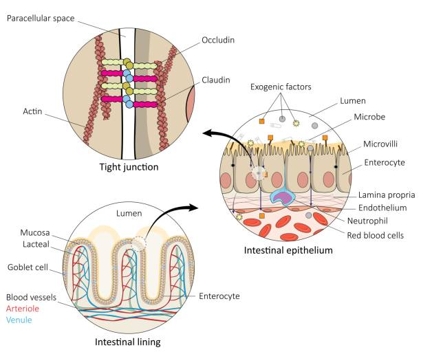 Human gut anatomy Human gut anatomy showing organization at cellular and molecular level mechanism. Colon and villi interaction with bacteria in the human gut. Healthcare and disease illustration for scientific publishing. High quality. epithelium stock illustrations