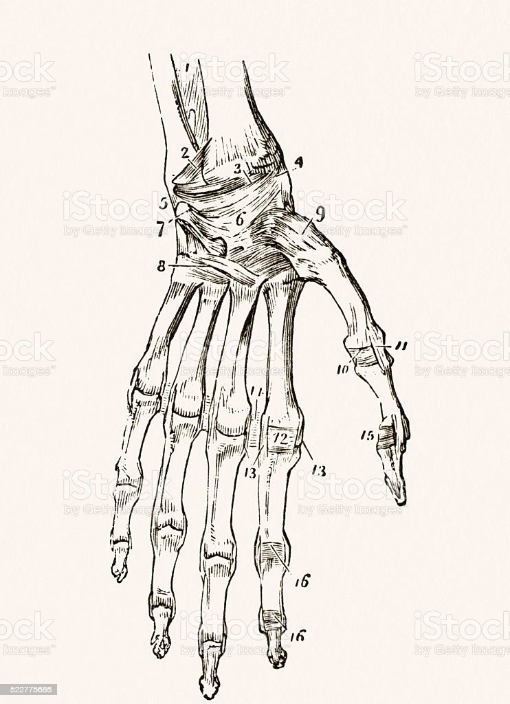 Human hand bones 19 century medical illustration vector art illustration