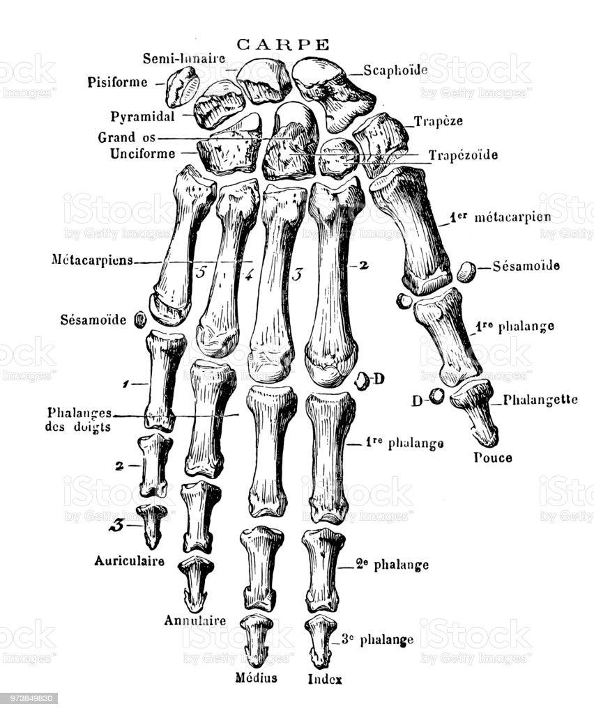 Ilustración de Huesos De La Mano Humana y más banco de imágenes de ...