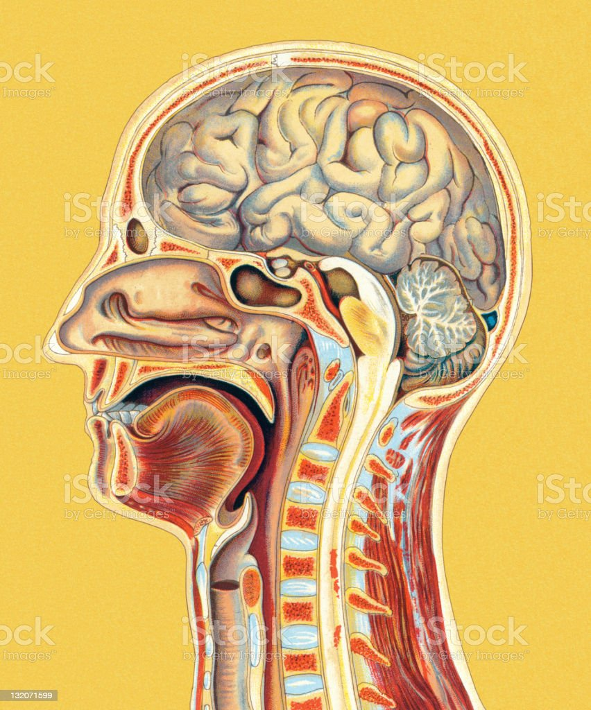 Human Head Anatomy Stock Vector Art More Images Of Anatomy