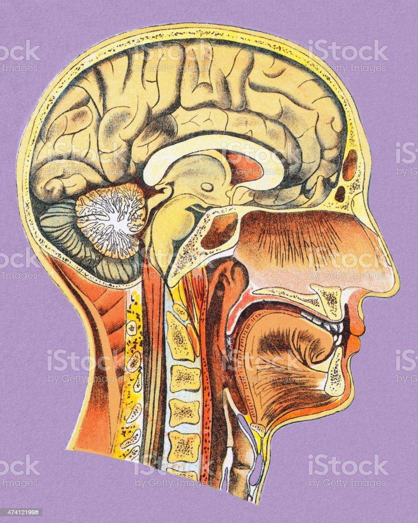 Menschlicher Kopf Anatomie Vektor Illustration 474121998 | iStock