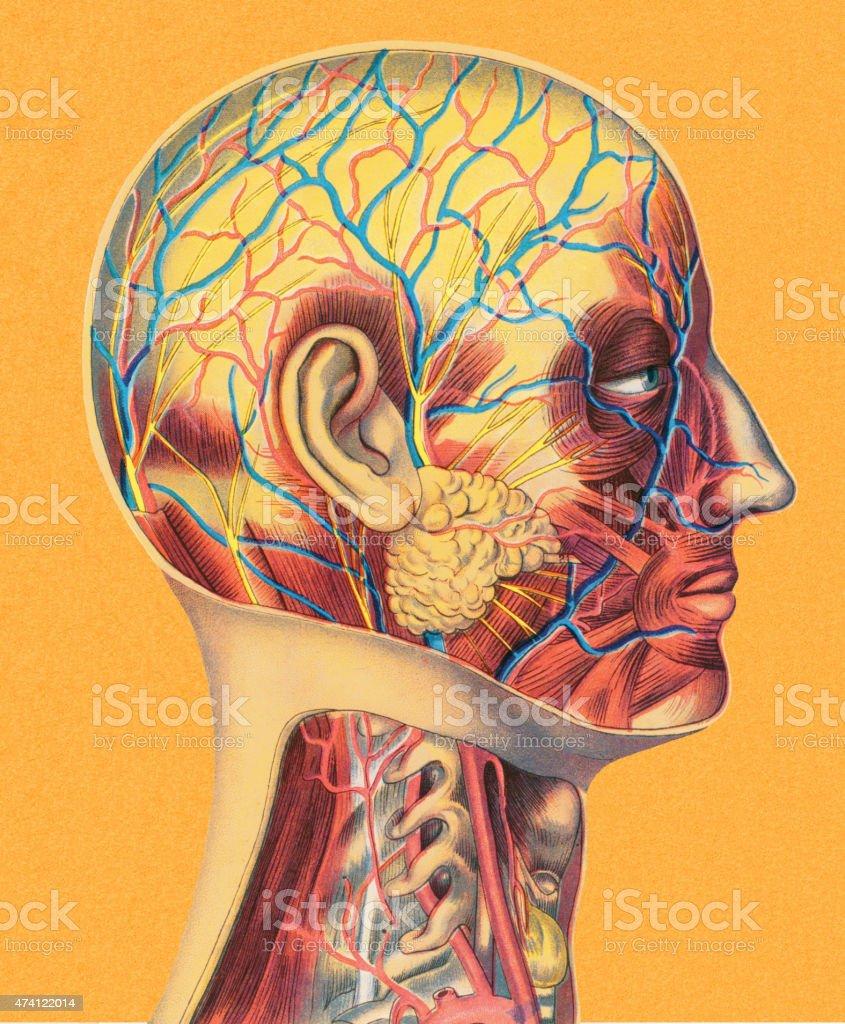 Menschlicher Kopf Anatomie Stock Vektor Art und mehr Bilder von 2015 ...
