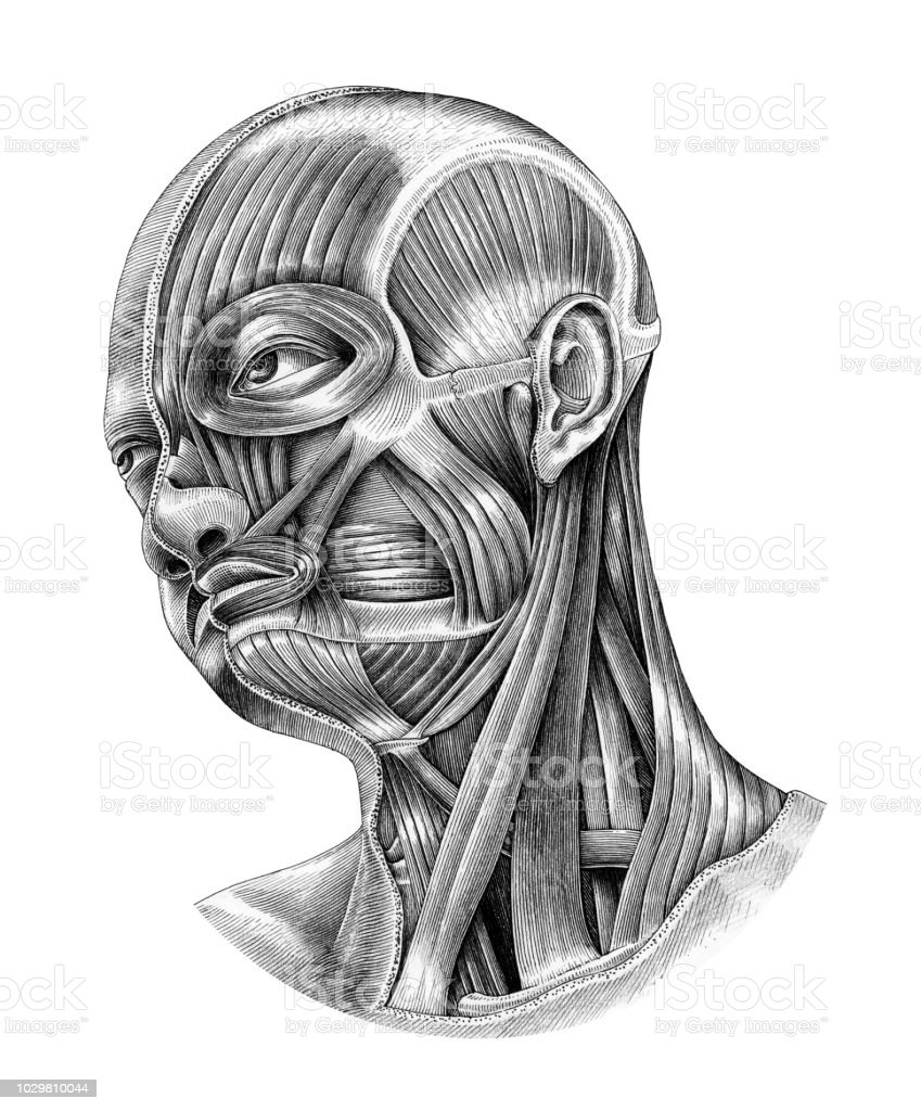 Human Head And Neck Anatomy Diagram Illustration Vintage Style