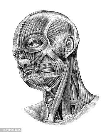 Human head and neck anatomy diagram illustration vintage style isolate on white background