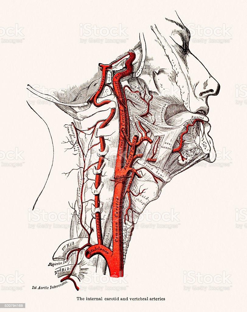 Menschlicher Kopf Blutgefäße Anatomie 19 Jahrhundert Medizinische ...