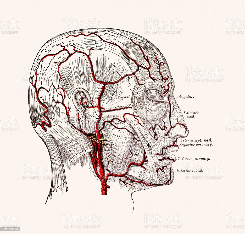 Human Head Blood Vessels Anatomy 19 Century Medical Illustration