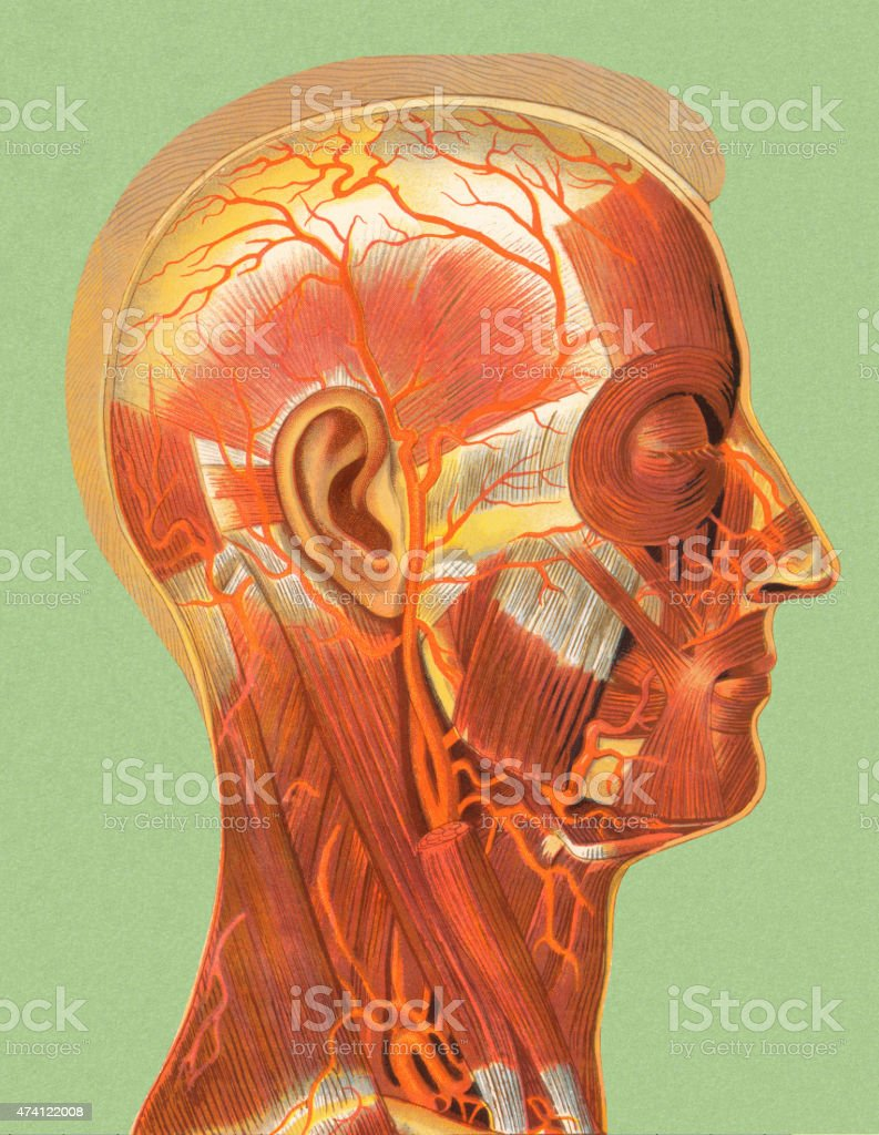 Human Head Muscle Anatomy Stock Vector Art More Images Of 2015