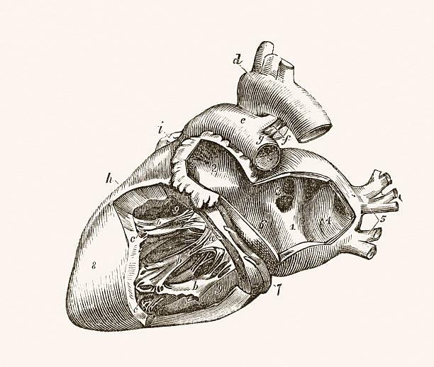 ilustraciones, imágenes clip art, dibujos animados e iconos de stock de corazón humano médica medio siglo 19 - medicina del deporte