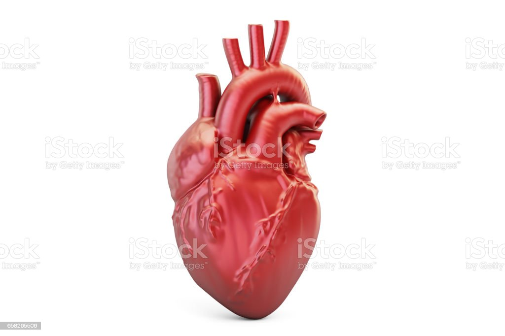 Human heart, 3D rendering isolated on white background vector art illustration