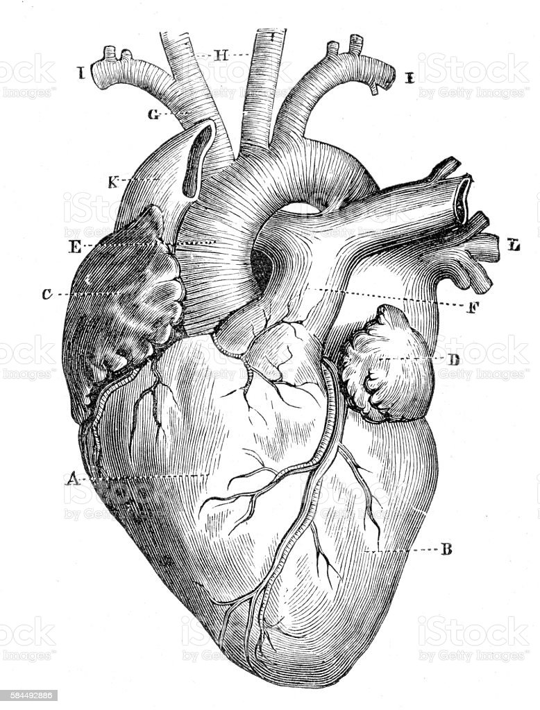Human Heart Anatomy 1888 Stock Vector Art & More Images of Anatomy ...