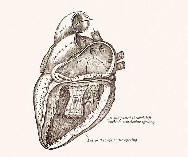 Royalty Free Human Heart Drawing Clip Art, Vector Images ...