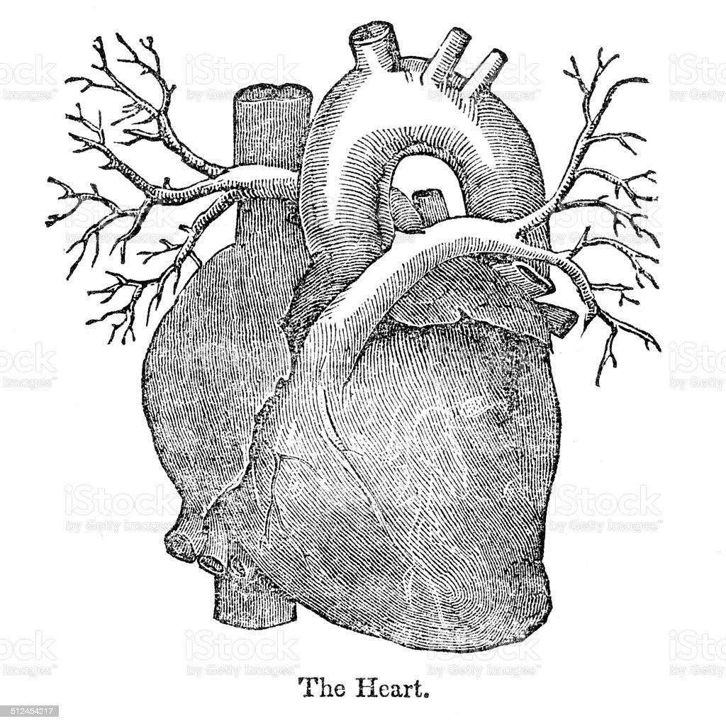 Human Heart Anatomy Drawing Stock Vector Art More Images Of