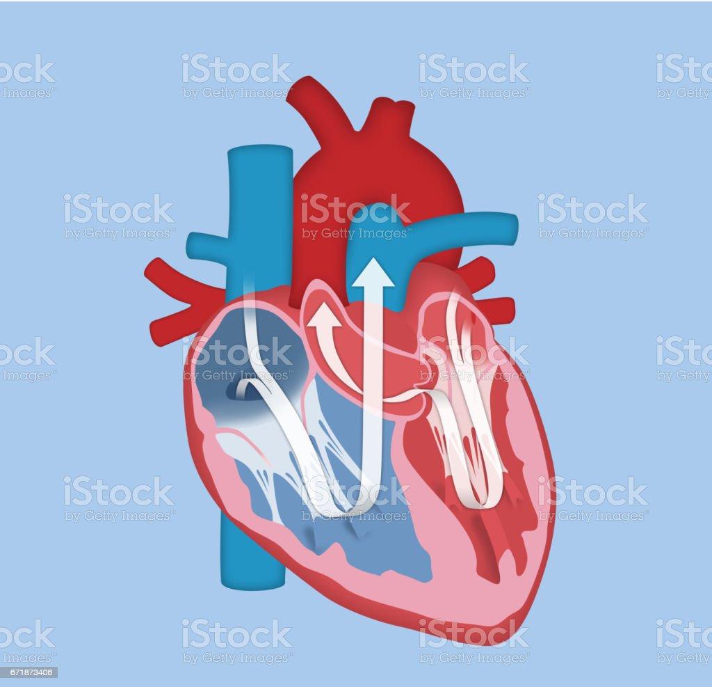 Menschlichen Herzensgrundausführung Vektor Illustration 671873406 ...