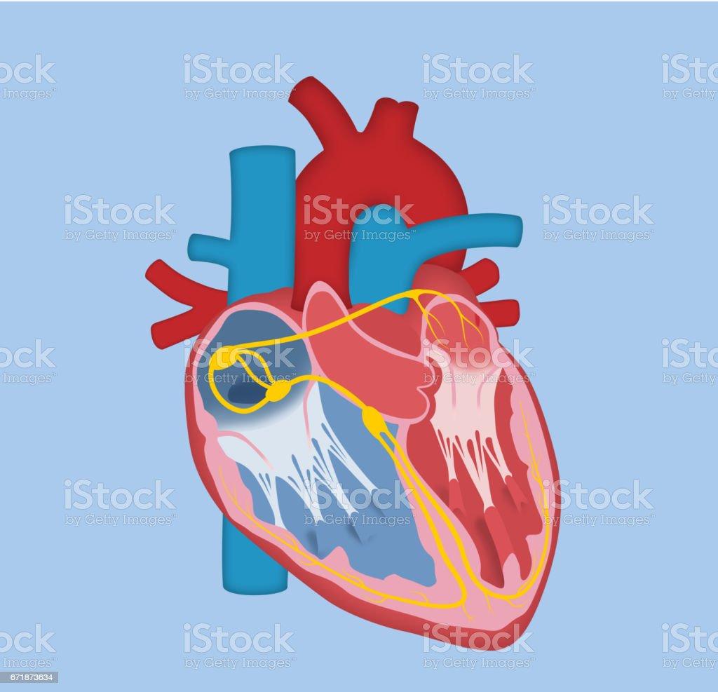 Menschlichen Herzensgrundausführung Stock Vektor Art und mehr Bilder ...