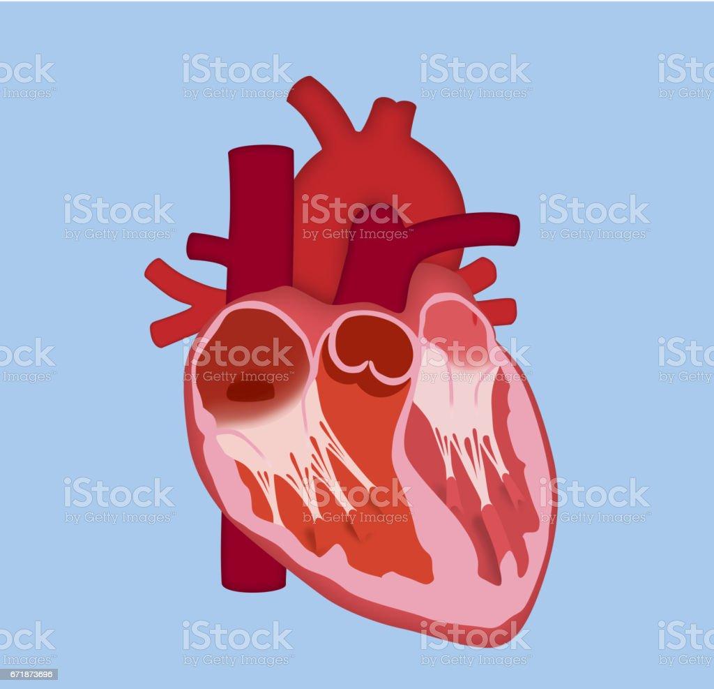 Ilustración de Corazón Humano Diseño Básico y más banco de imágenes ...