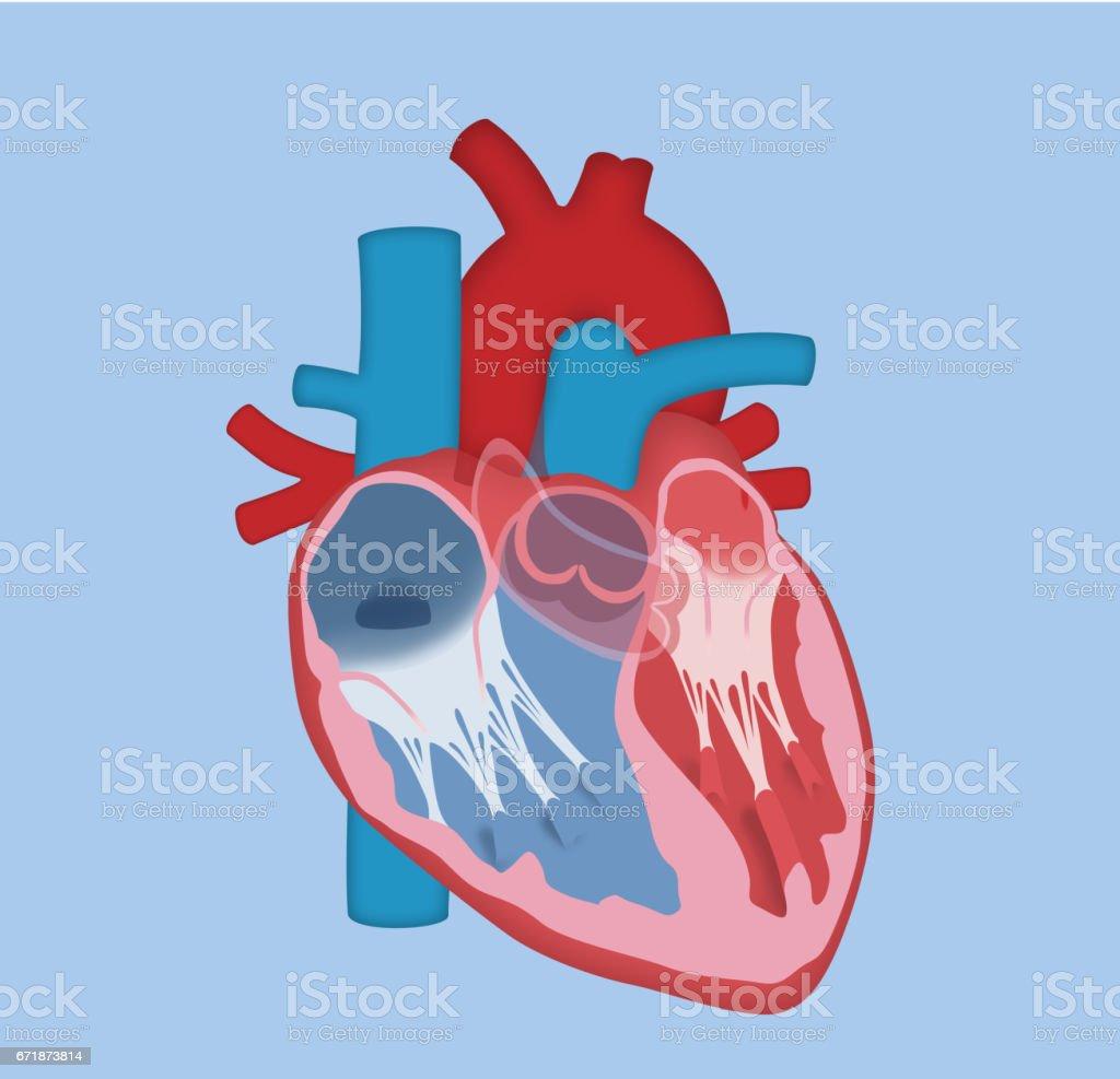 Human Heart – Basic Design vector art illustration
