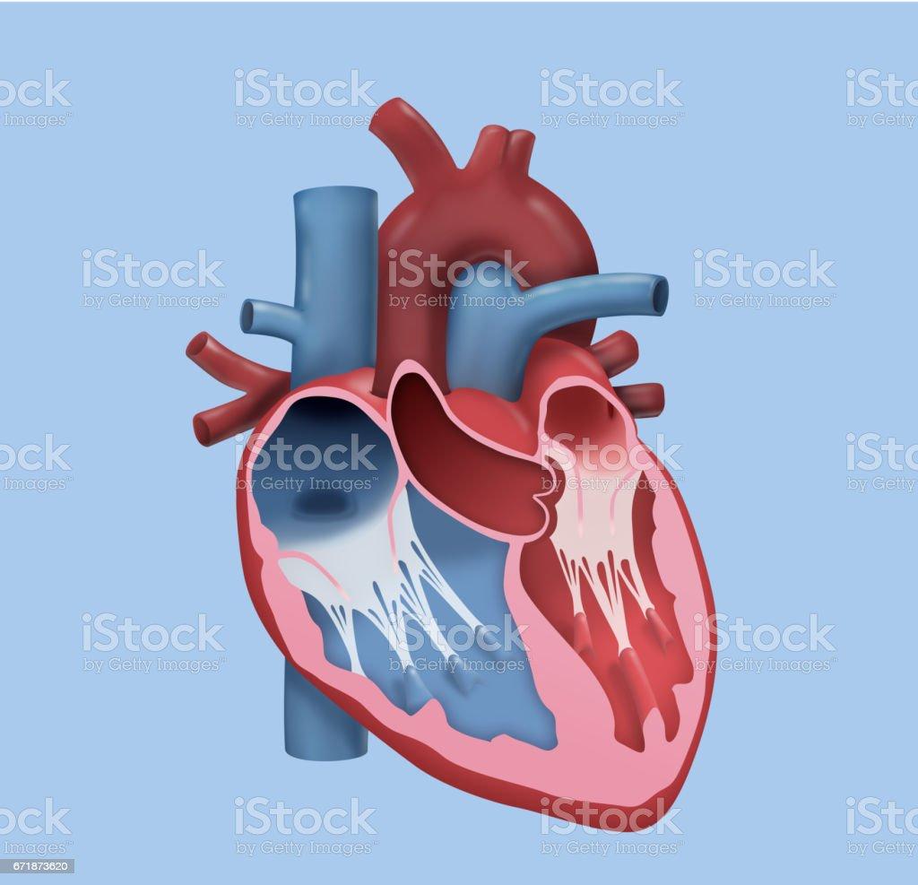 Human Heart – Detailed Design vector art illustration