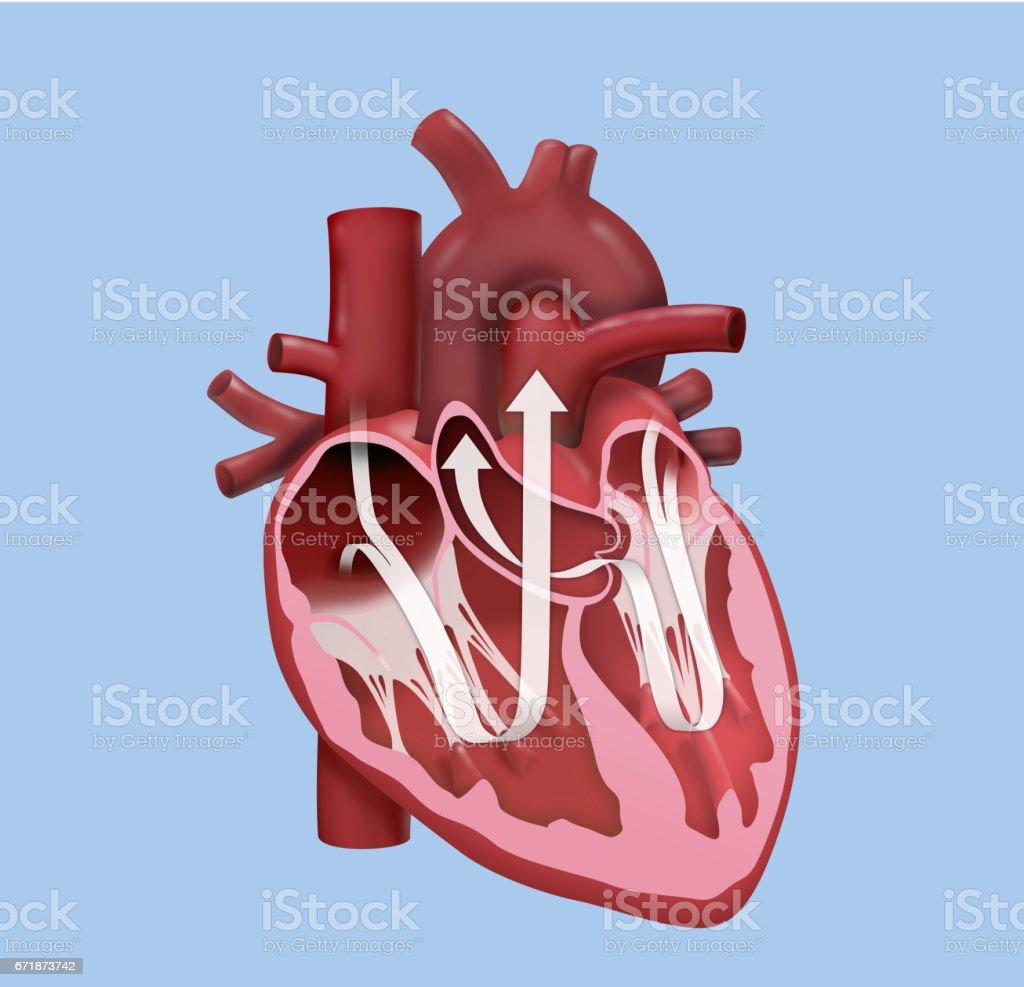 Menschlichen Herzen – Ausführungsplanung – Vektorgrafik