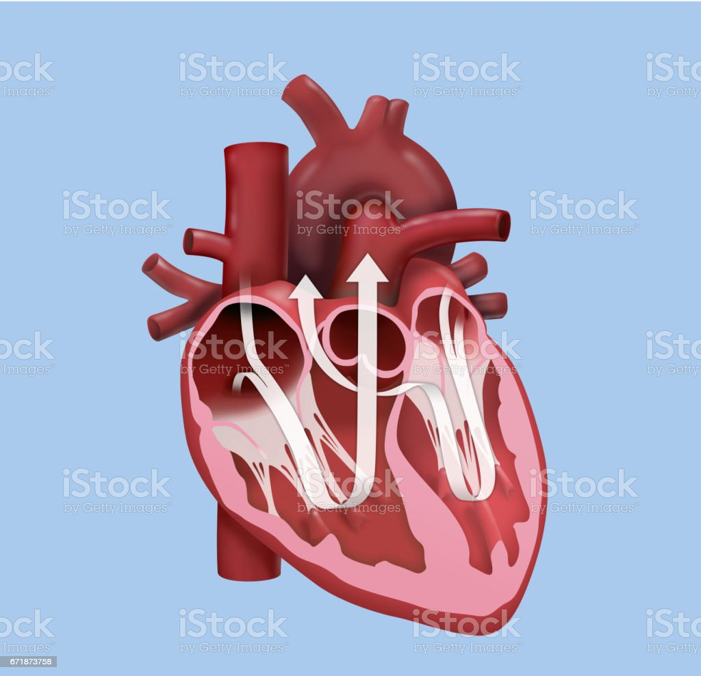 Menschlichen Herzen Ausführungsplanung Stock Vektor Art und mehr ...