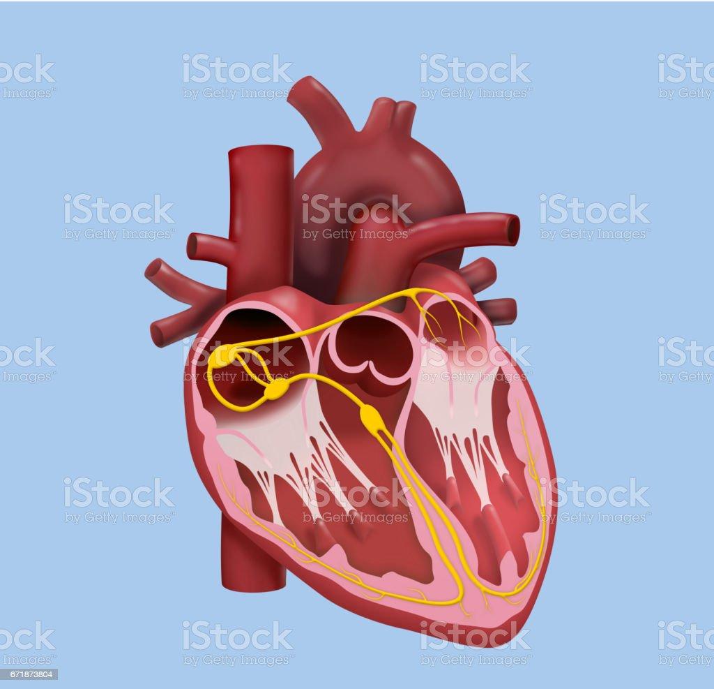 Ilustración de Corazón Humano Diseño Detallado y más banco de ...