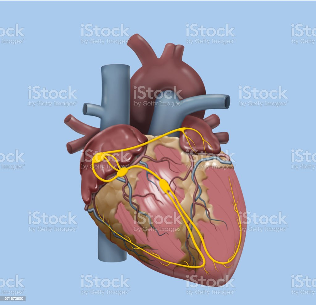 Human Heart Detailed Design Stock Vector Art & More Images of ...