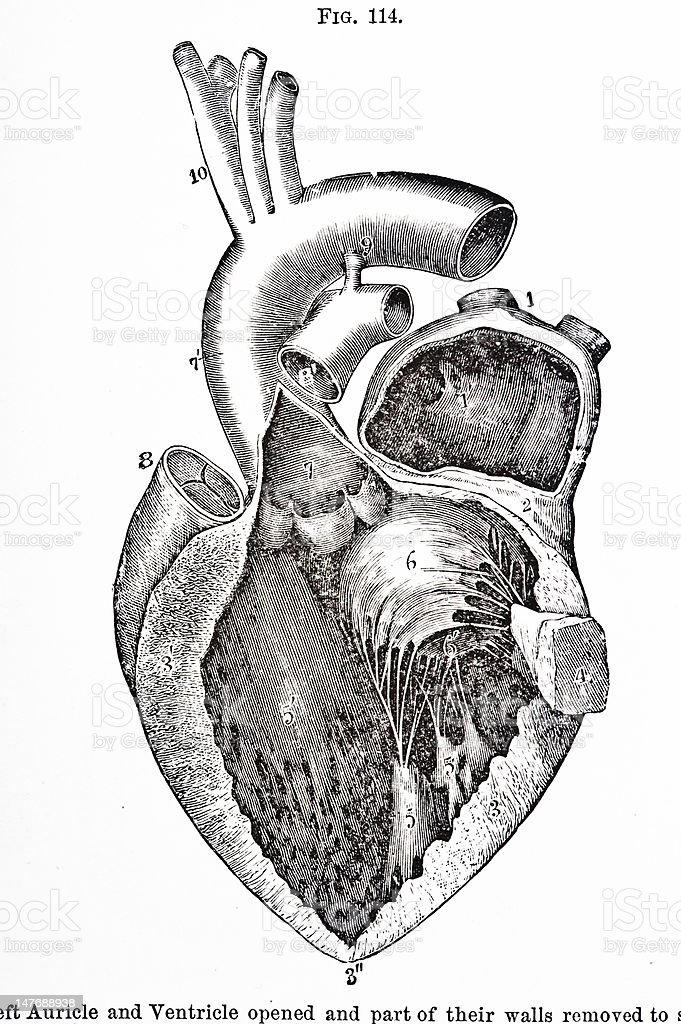 Diagram Of A Heart 19th Century - DIY Enthusiasts Wiring Diagrams •