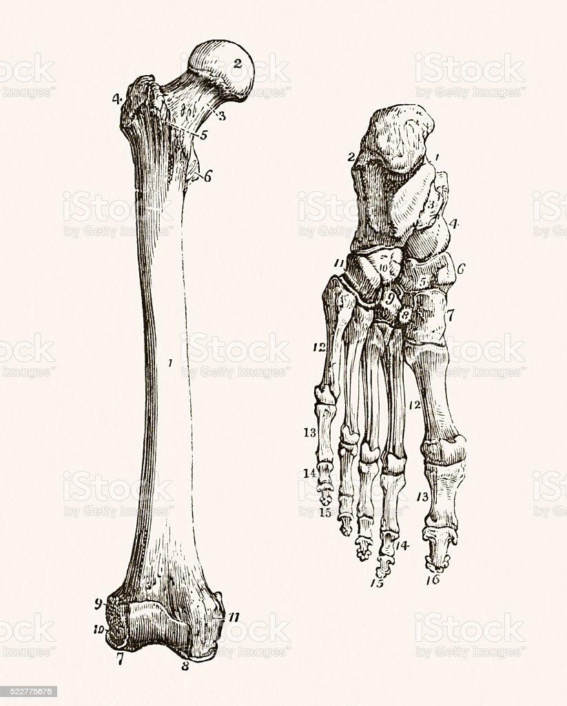 Ilustración de Pierna Humana Y Pie De Los Huesos Médico Medio Siglo ...